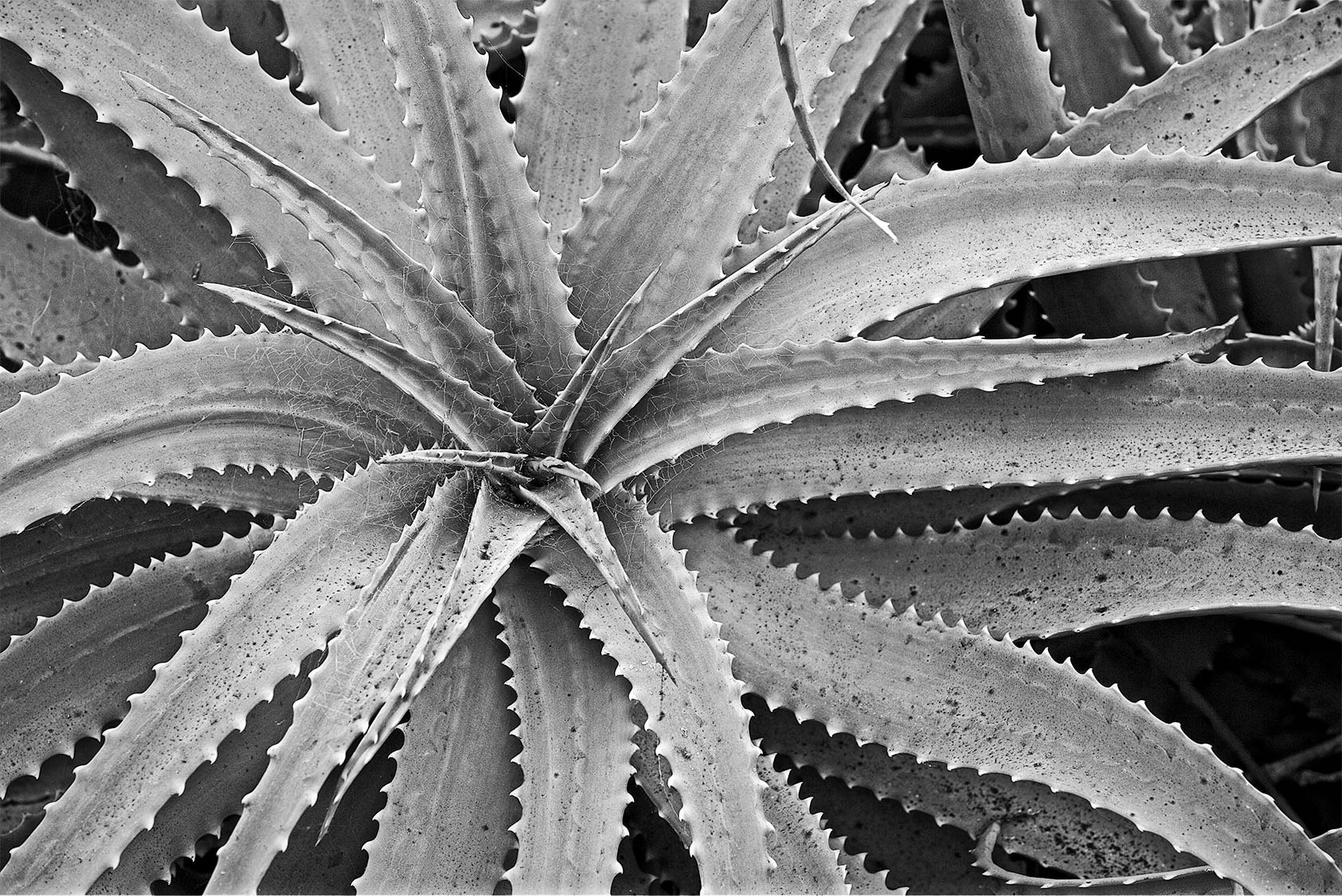 Thorny-Issue_B_W